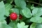 ヤブヘビイチゴ