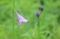 オオバギボシの花