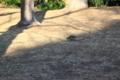 トラツグミ