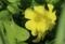 黄オキザリス