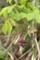 ミツバアケビ