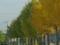イチョウ並木 みずき野