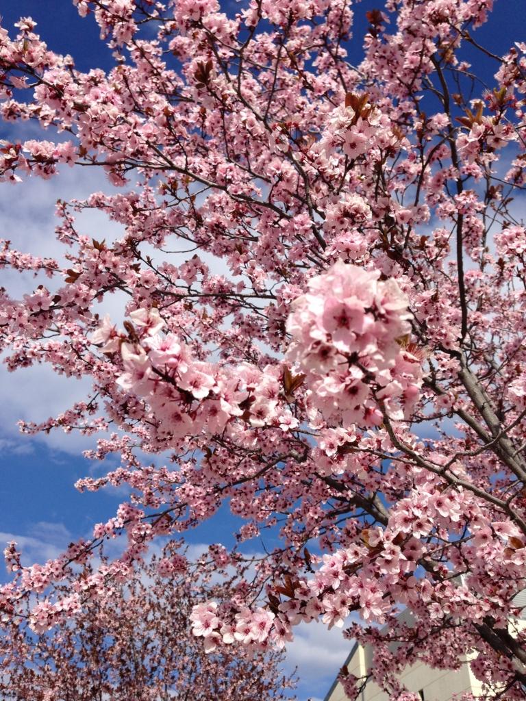スペイン桜