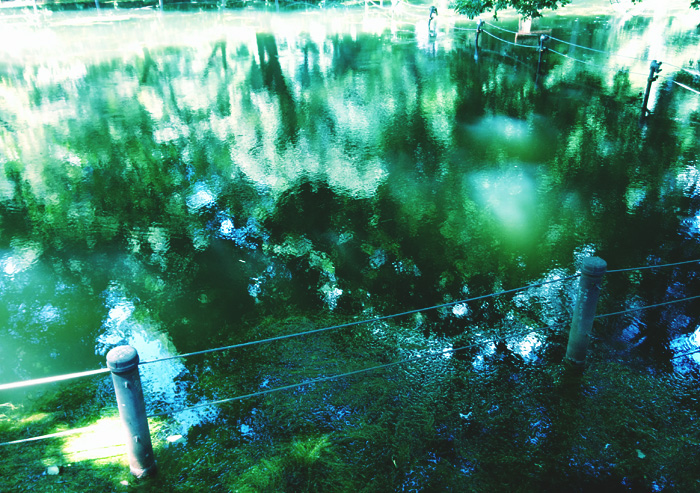 生き返った水草、井の頭公園