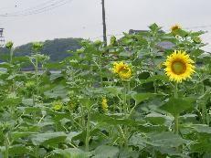 f:id:mikawakinta63:20060721152307j:image