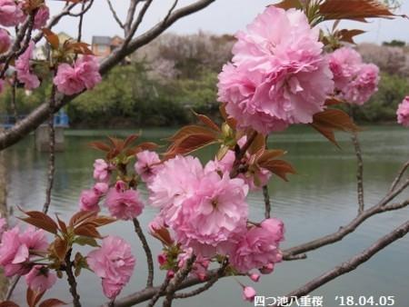 姥桜(うばざくら) - クマさん...