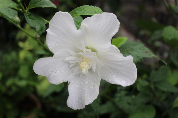 木槿 白祇園守 茶花 庭ブログ