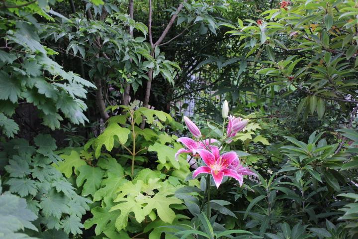 オリエンタルリリー『スターゲイザー』の庭植え