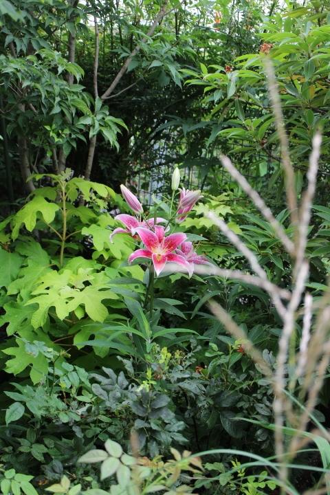 色々な木々の葉っぱの中で濃いピンクの花を咲かせるスターゲイザー