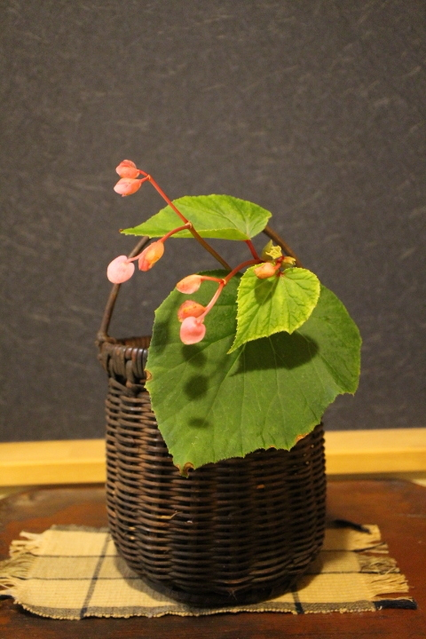 花籠に投げ入れたピンク色の秋海棠