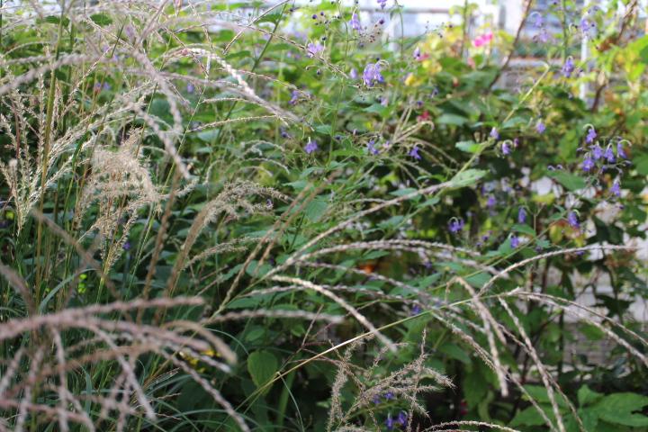 生い茂った薄と雁金草で茫々の庭
