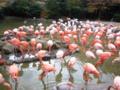 [神戸][animal]王子動物園。フラミンゴ