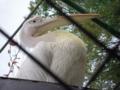[神戸][animal]王子動物園。ペリカン