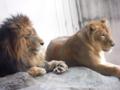 [神戸][animal]王子動物園。ライオン