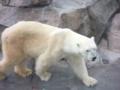 [神戸][animal]王子動物園。シロクマ