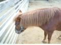 [神戸][animal]王子動物園。ポニー