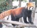 [神戸][animal]王子動物園。レッサーパンダ