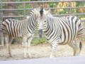 [神戸][animal]王子動物園。シマウマ