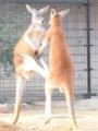 [神戸][animal]王子動物園。カンガルーばとる!