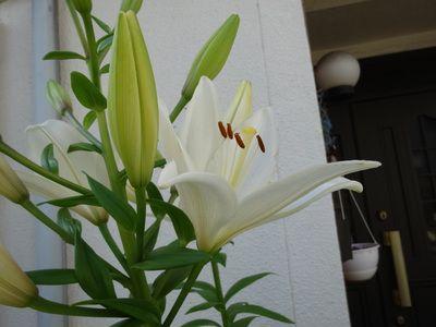 葯(やく)から黄色い花粉が出ているユリの花