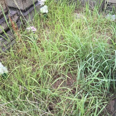 お墓に生えている雑草