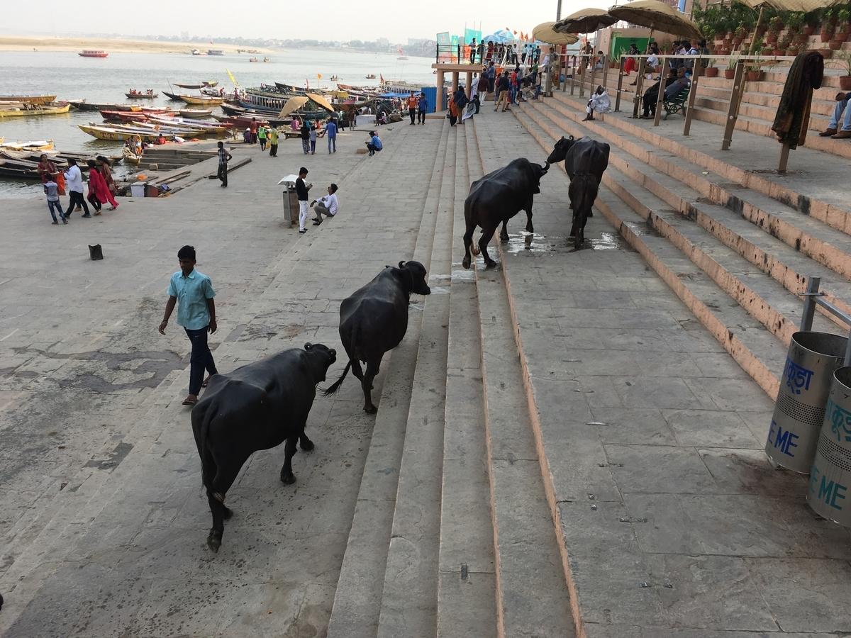 ベナレス 牛