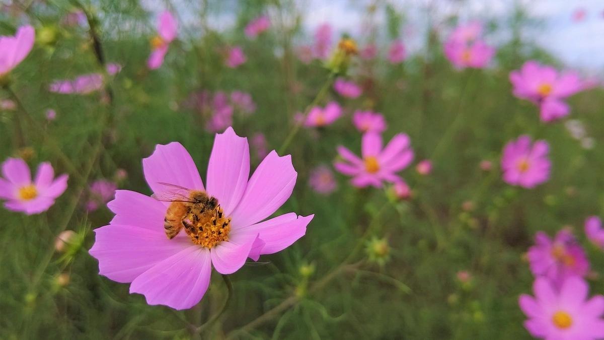 コスモス 薄紅 蜂