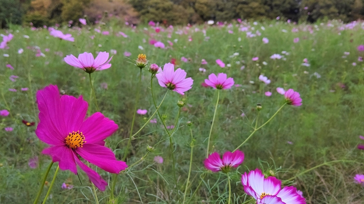 コスモス 小金井公園