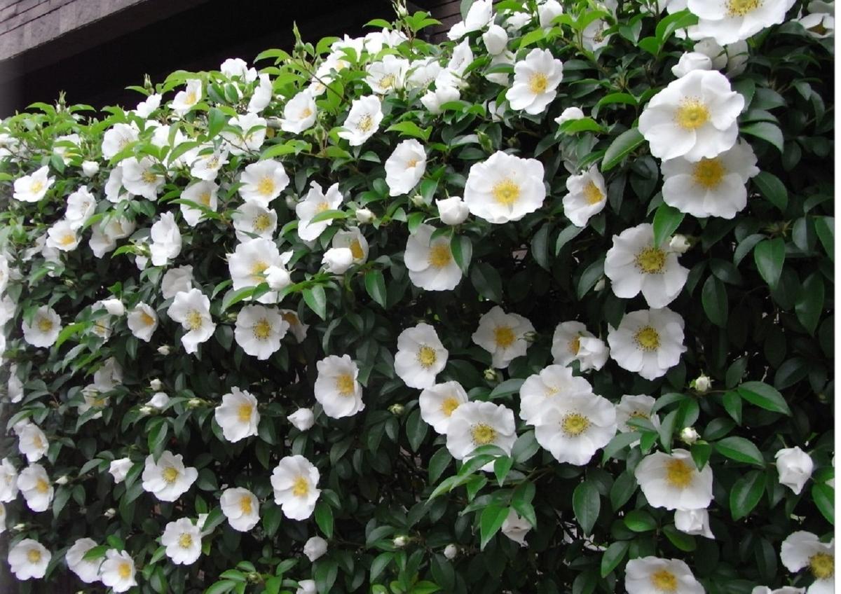 ナニワイバラの花