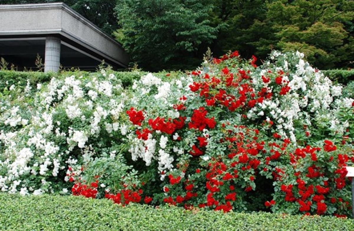 東京・神代植物公園のばら園。色とりどりのバラが美しく咲き誇る。2011年6月10日 (撮影:安藤伸良)
