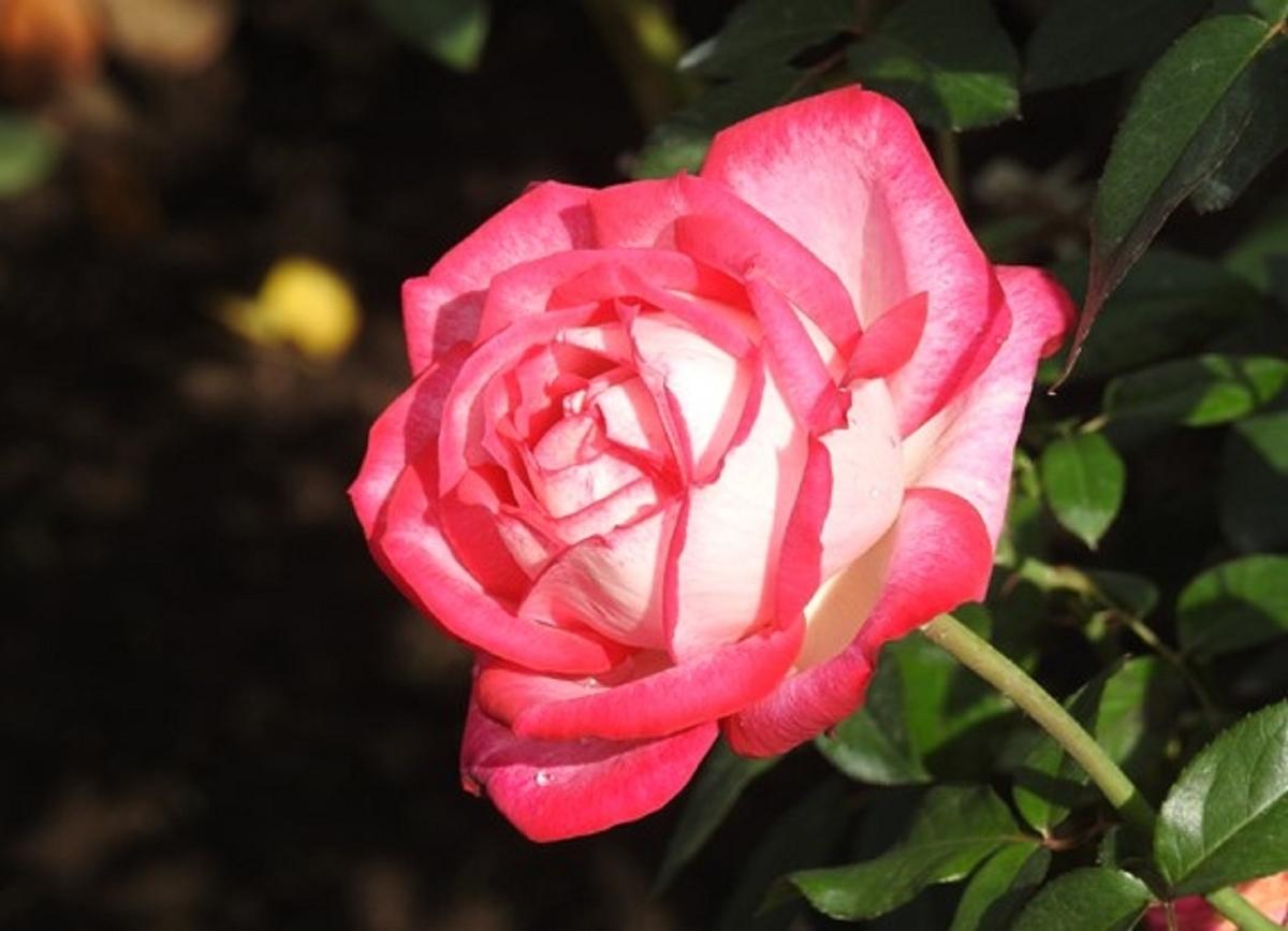 東京・神代植物公園に咲き誇るバラ(聖火)の花。2020年10月24日 (撮影:安藤伸良)