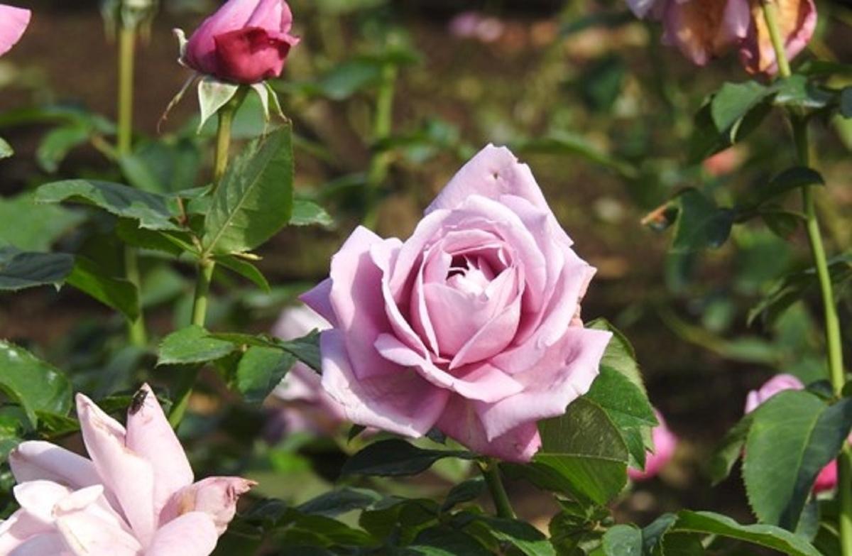 あの大統領の名前が付けられている。東京・神代植物公園のバラ(シャルル・ド・ゴール)の花。2020年10月24日 (撮影:安藤伸良)