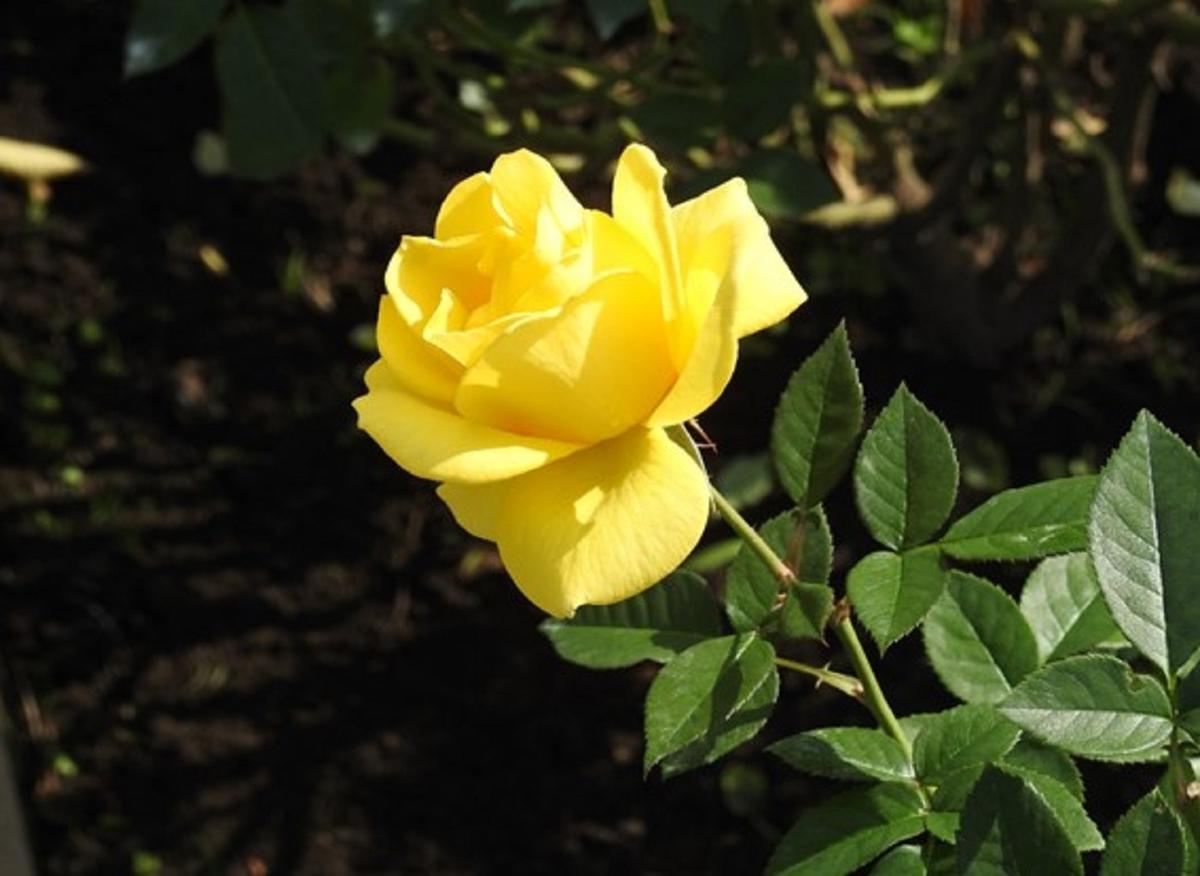 鮮やかな黄色がまぶしい。東京・神代植物公園のバラ(伊豆の踊子)の花。2020年10月24日 (撮影:安藤伸良)