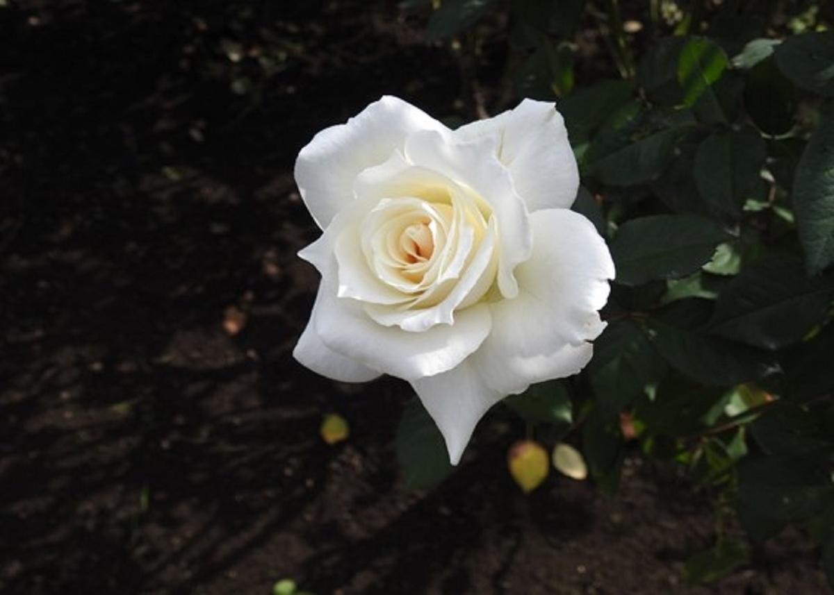 上品な白が特徴。東京・神代植物公園のバラ(パスカリ)の花。2020年10月24日 (撮影:安藤伸良)