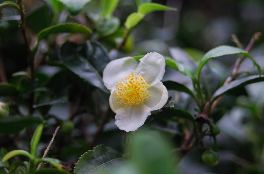 善福寺公園 チャノキ 花