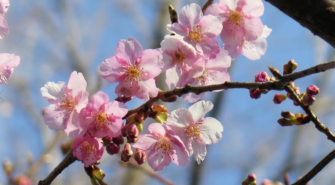 善福寺公園 カワヅザクラ 花