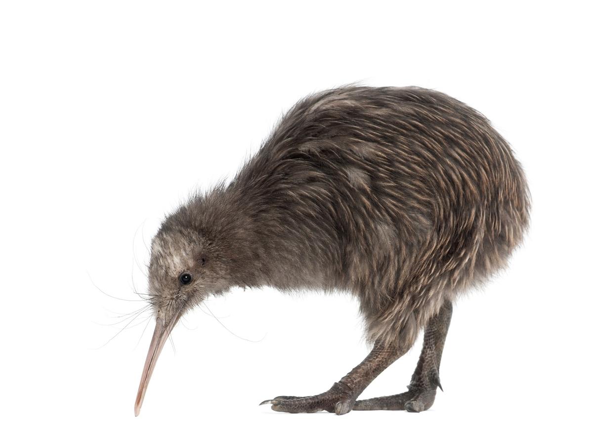 キウイ 鳥 ニュージーランド オークランドシティ