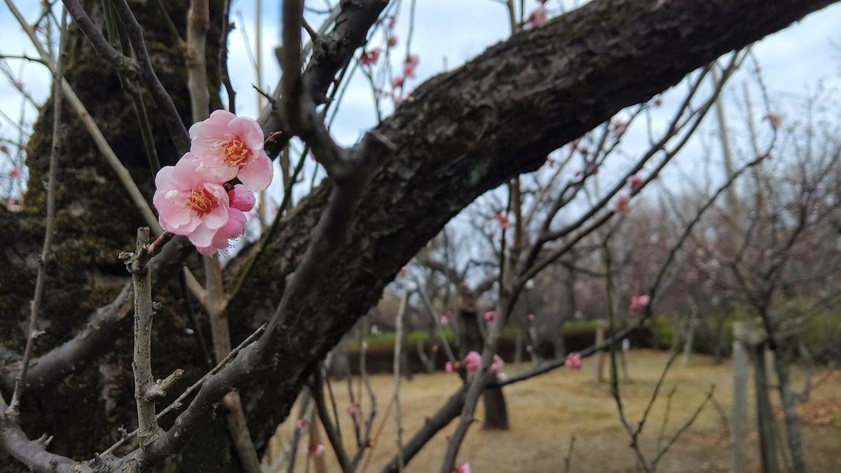 羽根木公園 梅林