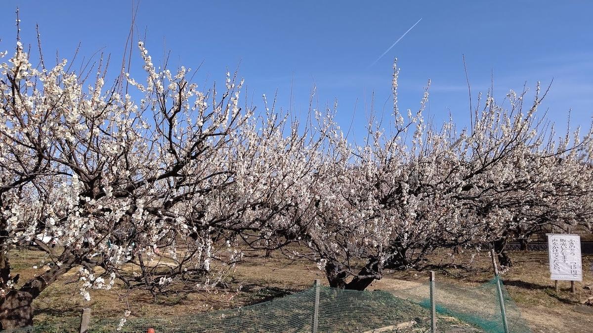 鶴見川沿い 農園 梅