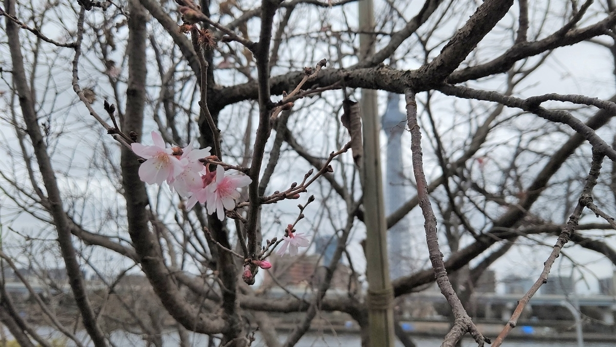 隅田公園 梅 散歩道 スカイツリー