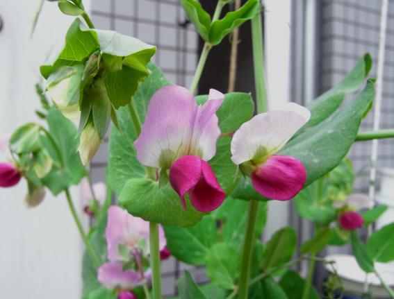 ツタンカーメンの花