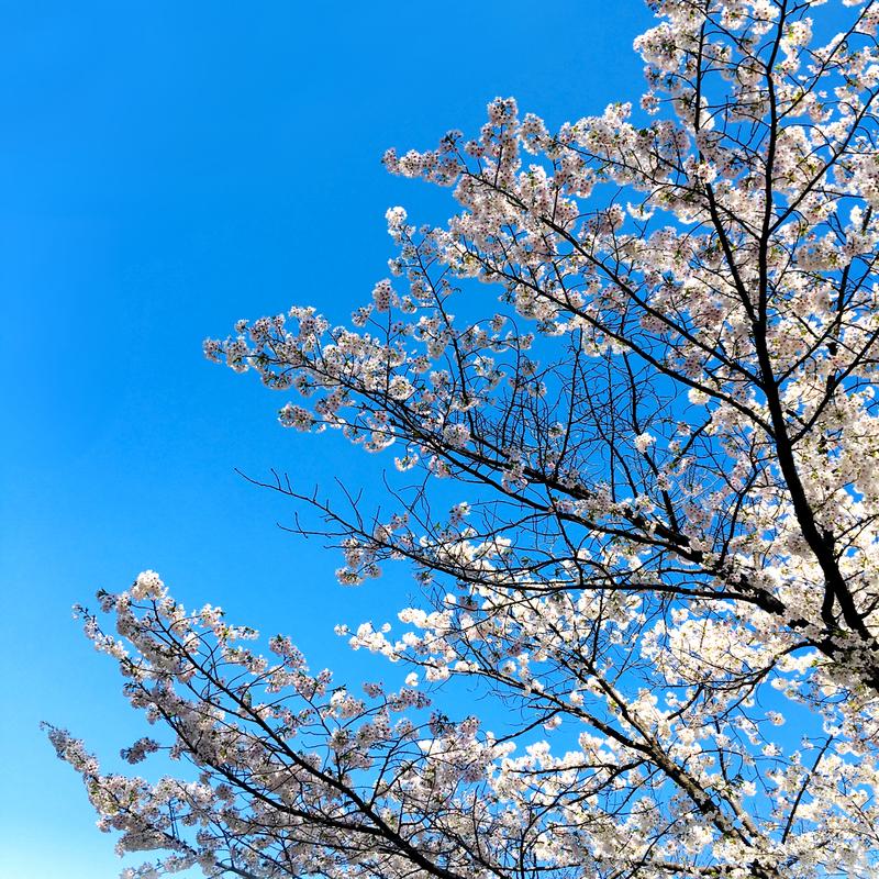 未桃みもが撮影した2021年の桜の木