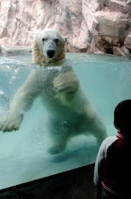 新たに仲間入りし、プールで遊ぶ雄のホッキョクグマ