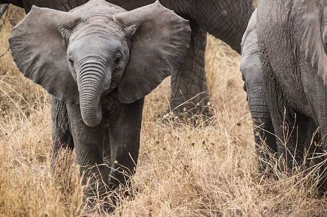 大きい 象