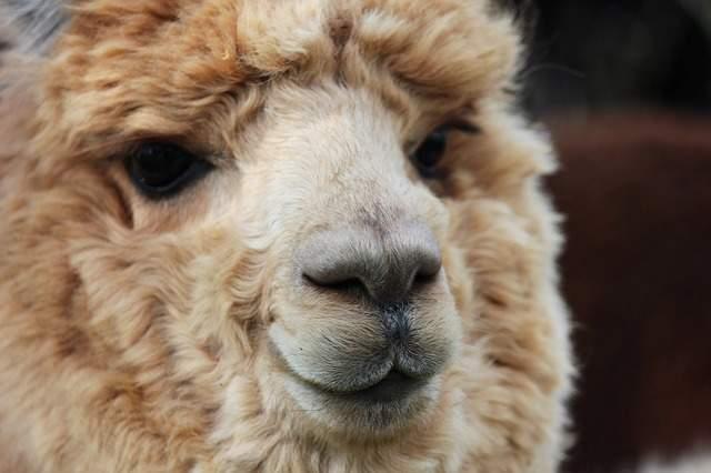 羊 羊毛フェルト