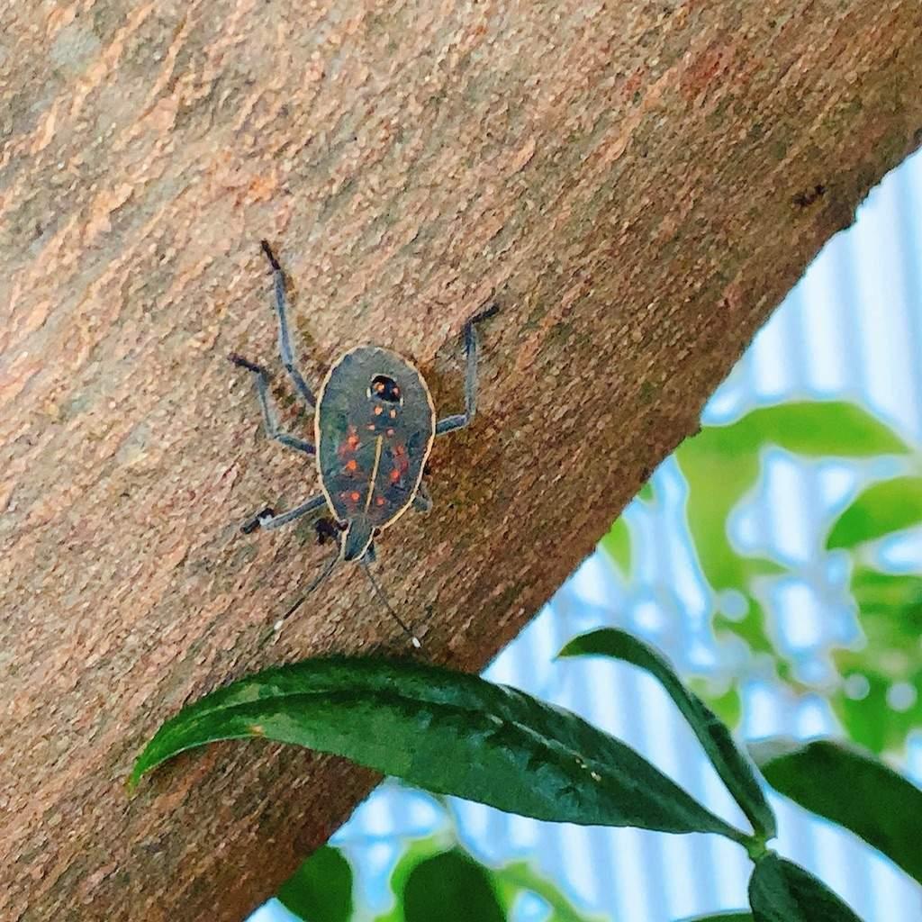 キマダラカメムシ 幼虫