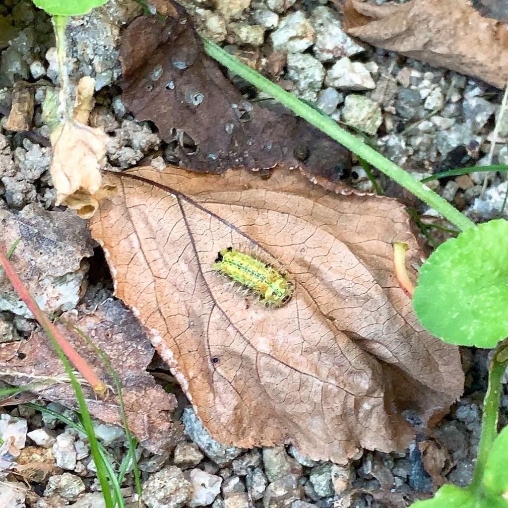 イラガの幼虫 秋の庭