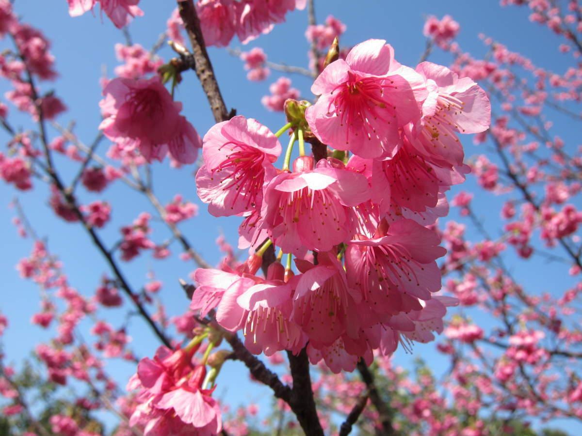 沖縄 桜 1月