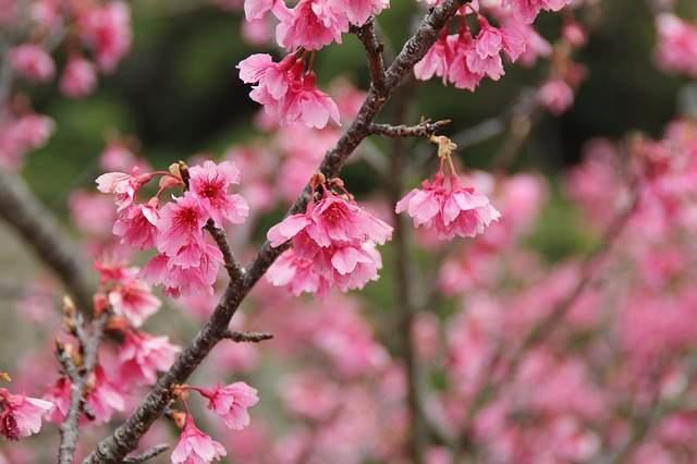 沖縄 寒緋桜