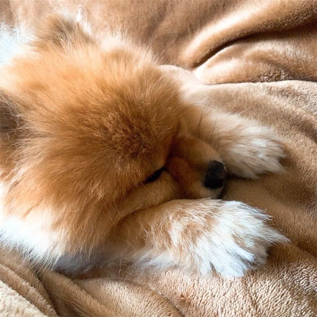 こたつ 犬 ポメラニアン 眠い 眠そう